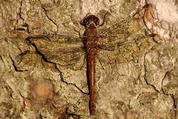 Sitting dragonfly Sympetrum vulgatum