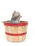 Hungry kitten in a basket poster