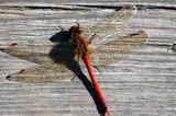 Common Darter (Sympetrum striolatum) poster