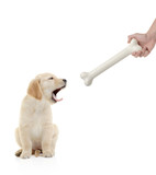 Golden retriever puppy about to bit a bone poster