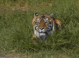 Bengal tiger in the grass 1 poster
