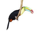 Toucan isolated on White Ground