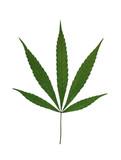 Marijuana Leaf Isolated on White poster