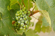 Beautiful Wine Grapes on the Vine one Early Fall Morning.