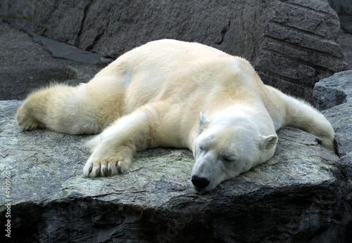 Aluminium Ijsbeer müder und schlafender Eisbär