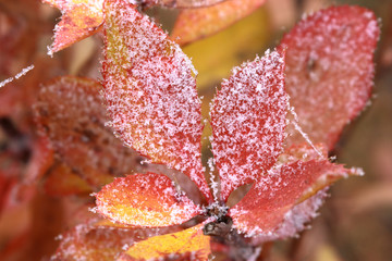 The first autumn hoarfrost on red leaves of a barberry