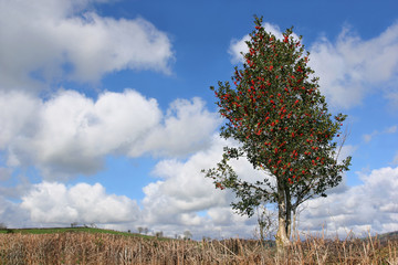 Holly Tree in Winter