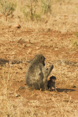 Baboon with cub
