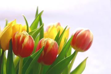Frühling - Tulpen im Gegenlicht