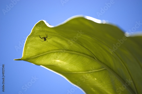 Spider under a big green leaf close-up