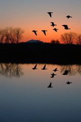 Evening Geese