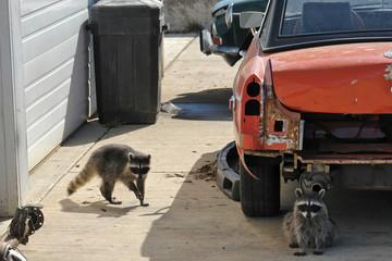 junkyard coons