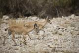 Two nubian ibexes in preserve near Dead Sea poster