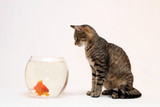 Fototapety  Home cat and a gold fish.