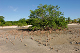 Mangrove  tree, Mozambique, southern Africa poster