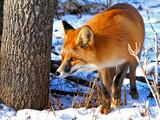 Fototapeta Red Fox 34