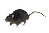 Black rat poster