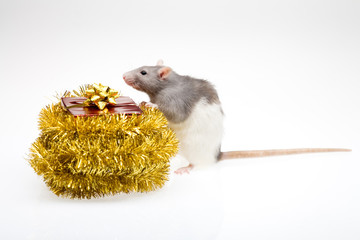 Rat and a gift box