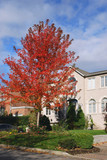 house with brilliant red maple tree poster
