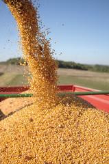 recolte de maïs