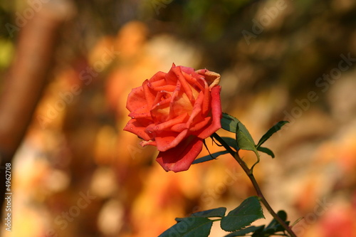 Rose in authumn