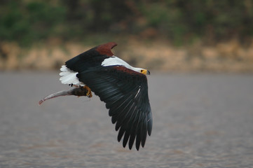 The catching (African Fish Eagle).