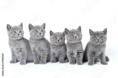 British Shorthair kittens sitting on a white background in a stu