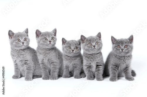 Poster British Shorthair kittens sitting on a white background in a stu