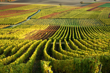 Vineyards. The Rhine Valley, Germany