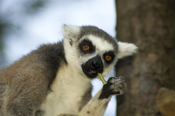 Eating Lemur Catta