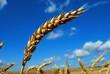 Leinwandbild Motiv Weizen-Ähre