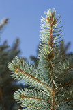 Evergreen juniper pine branches poster