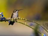 Female Ruby-throated hummingbird poster