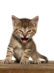 Kitten open mouth