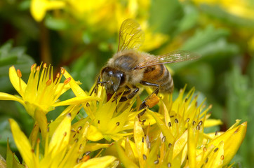 Biene auf einer Blüte