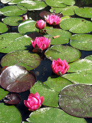 Watellilies in a pond