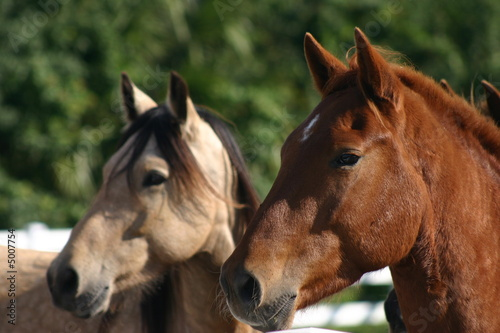 Headshot of two mustangs