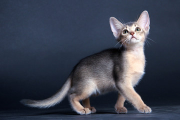 Kittens of Abyssinian breed in studio