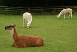 resting llamas at the zoo poster