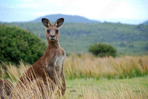 Poster Kangoeroe Wild kangaroo in outback