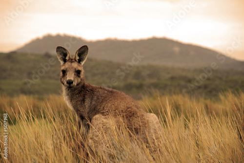 Foto op Canvas Kangoeroe Wild kangaroo in outback