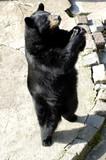 Black bear in Zoo. Kaliningrad, Russia. poster
