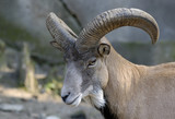 Wild goat in zoo. Kaliningrad, Russia. poster