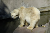 White (polar) bear in Zoo. Kaliningrad, Russia. poster