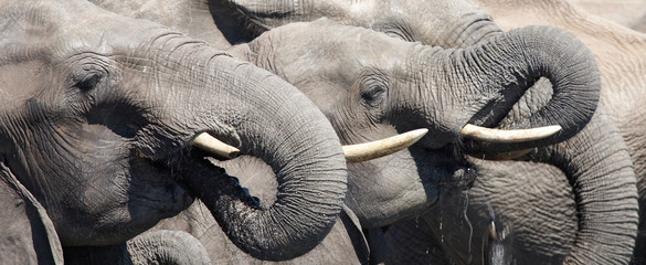 Drinking elephants, Chobe N.P., Botswana