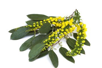 Eucalyptus & Mahonia
