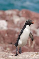 gorfou sauteur roi surf pingouin manchot