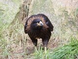 Cimango Falklandy (Phalcoboenus australis) stojící
