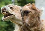 Fototapeta Sawanna -  camel's smile © Andrzej Solnica