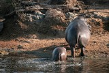 Hippo female with young in Serengeti national park.